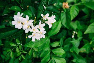 It's Easy to Grow Prolific, Aromatic Jasmine