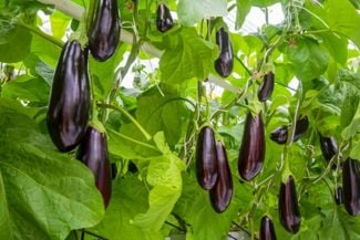 Pro Tips For a Bountiful Eggplant Harvest