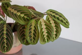 The Unusual, but Gorgeous, Prayer Plant