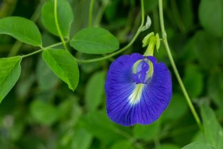Tips for Growing the Magical Butterfly Pea Flower