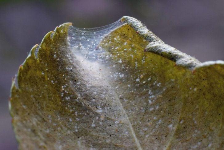 webbing invasion spider mites