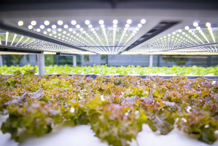 grow lab lettuce