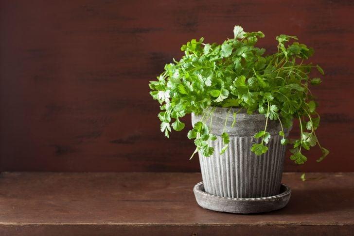 cilantro container