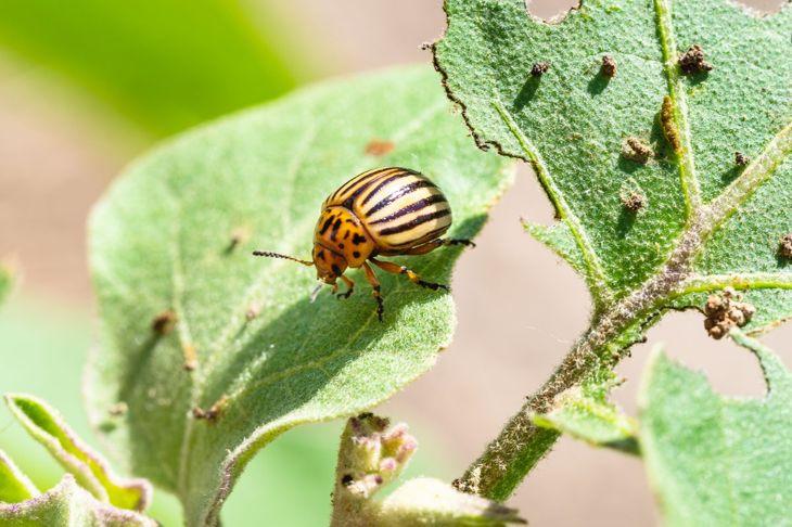 potato beetle eating eggplant leaf