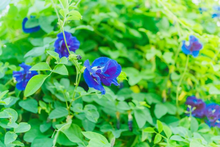 legume family butterfly pea flower