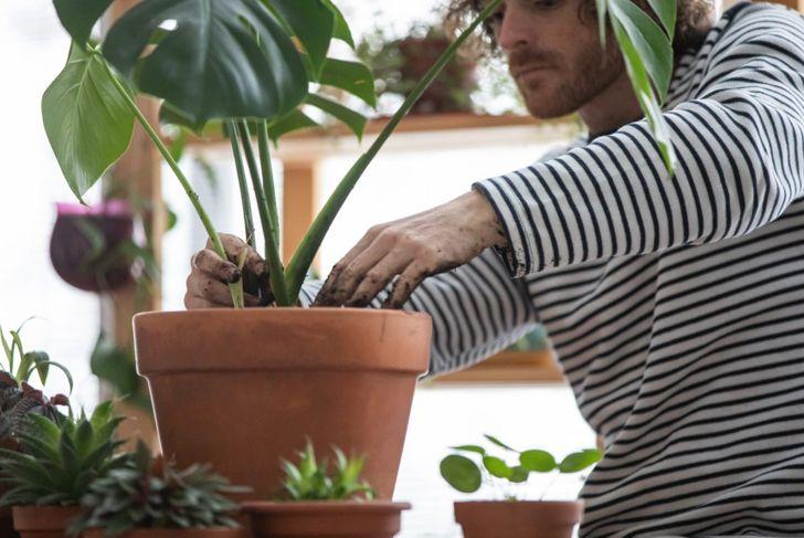 A young man potting a Monstera deliciosa in a proper terra-cotta pot.