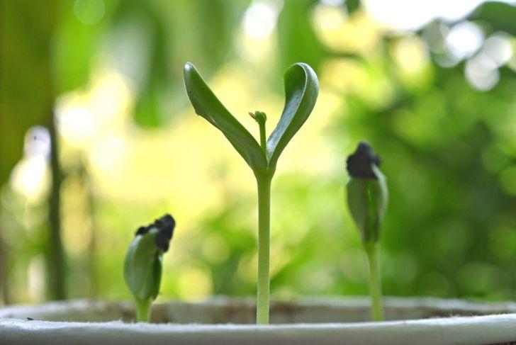 butterfly pea flower seedling