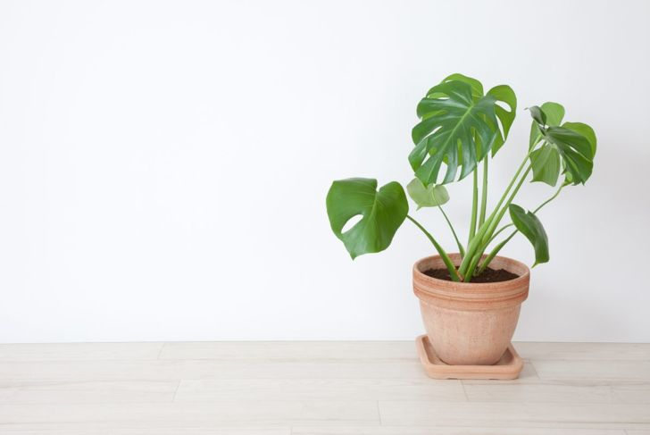A potted Monstera deliciosa placed on a wooden floor.