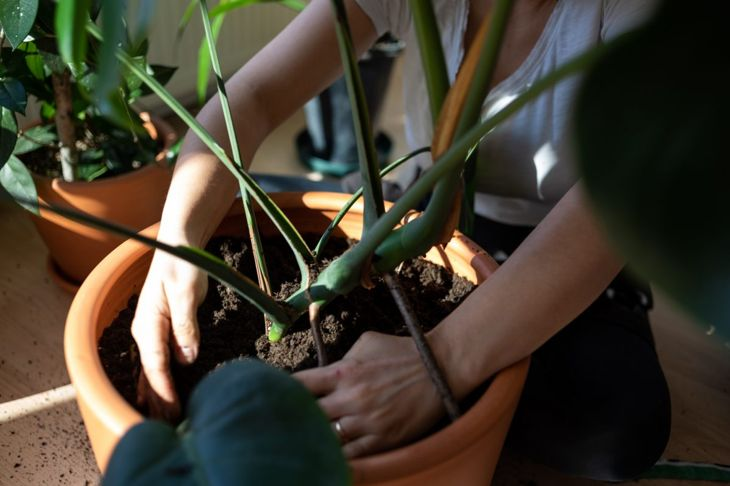Person using a rich and fluffy potting mix to pot a Monstera deliciosa.
