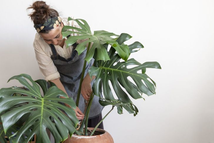 Woman visually inspects a Monstera deliciosa for signs of disease.