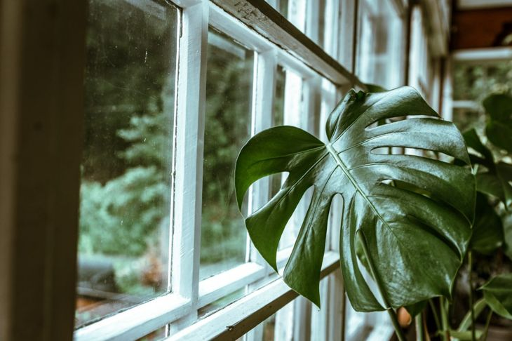 A Monstera deliciosa leaf reaches towards an undressed window.