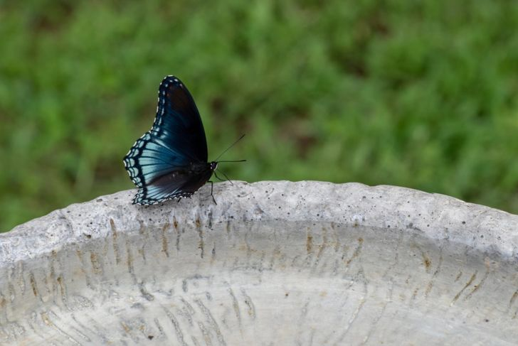 butterfly on birdbath