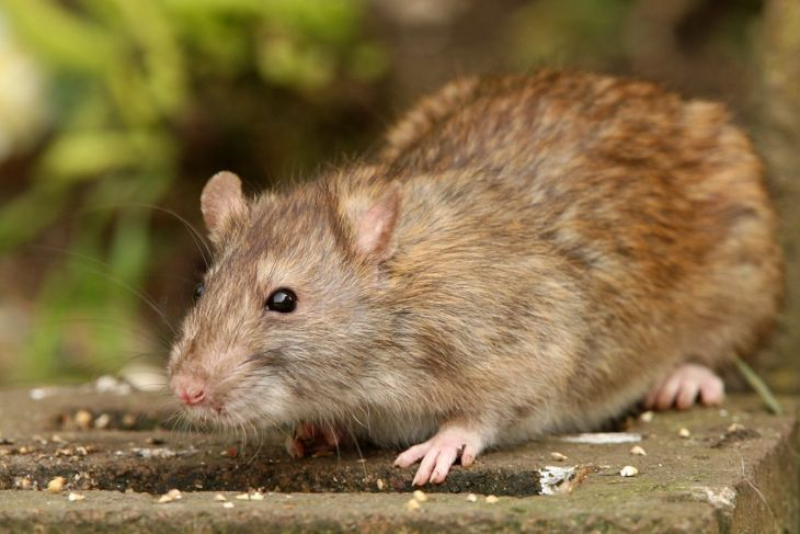 Removing brown mice as pictured can have snake repellent properties.