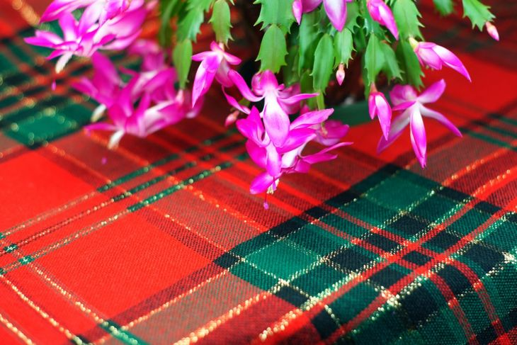 Christmas cactus on holiday tablecloth