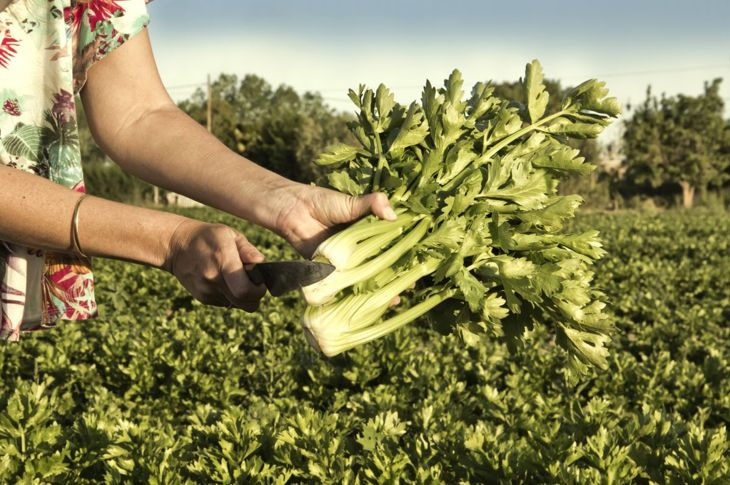 varieties leaf celeriac stalk harvesting