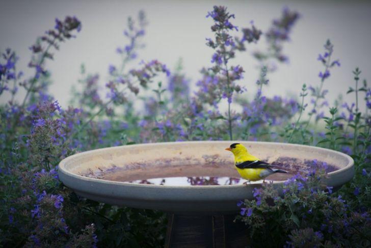 goldfinch on birdbath