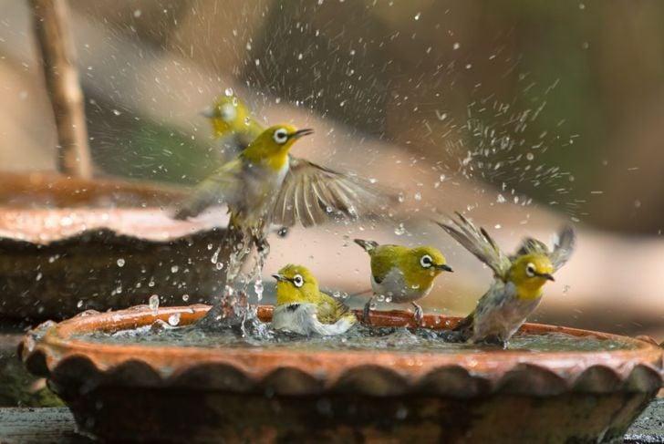 birds gathered in bath