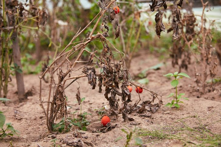 hot dry conditions mechanism tomatoes