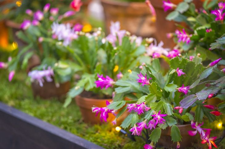Christmas cactus plants in pots