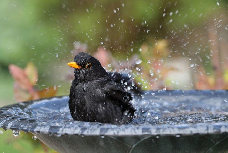 blackbird in birdbath