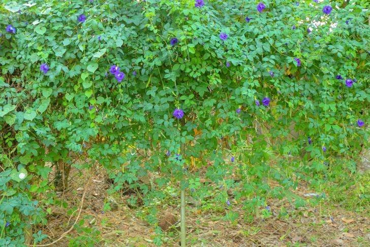 support trellis hedge vine