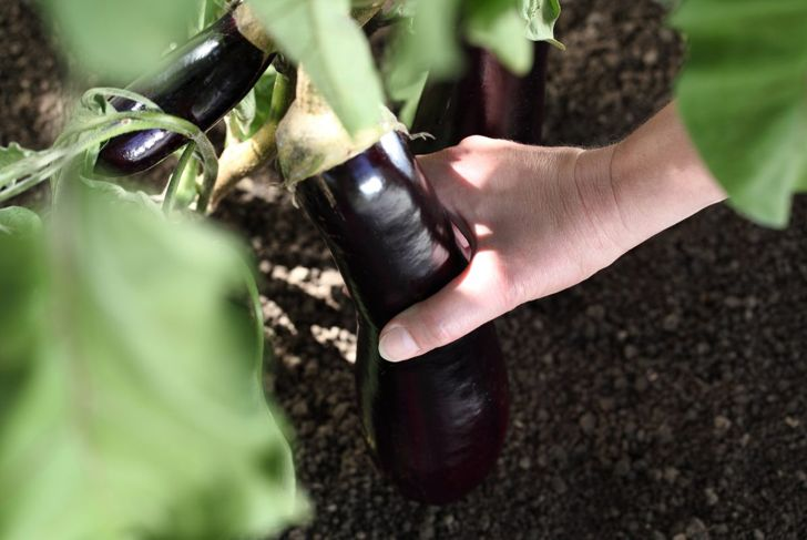 harvesting eggplant by hand