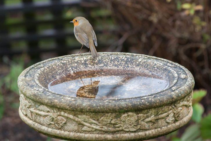 robin on old birdbath