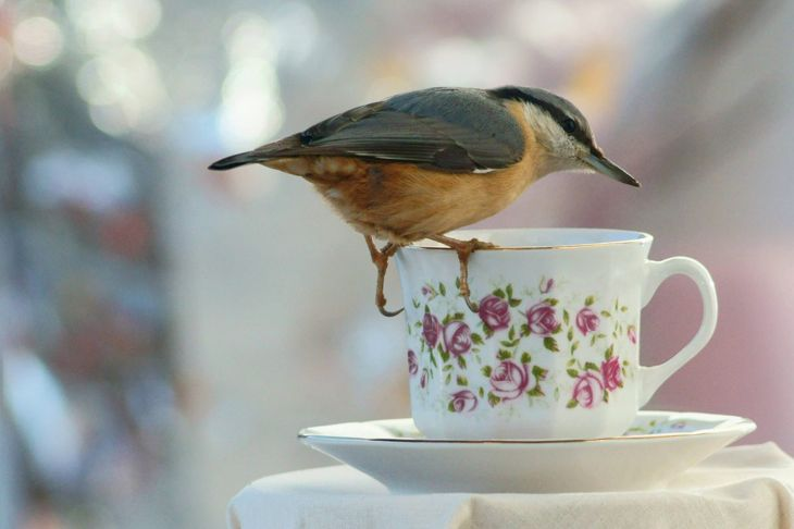 nuthatch on tea cup