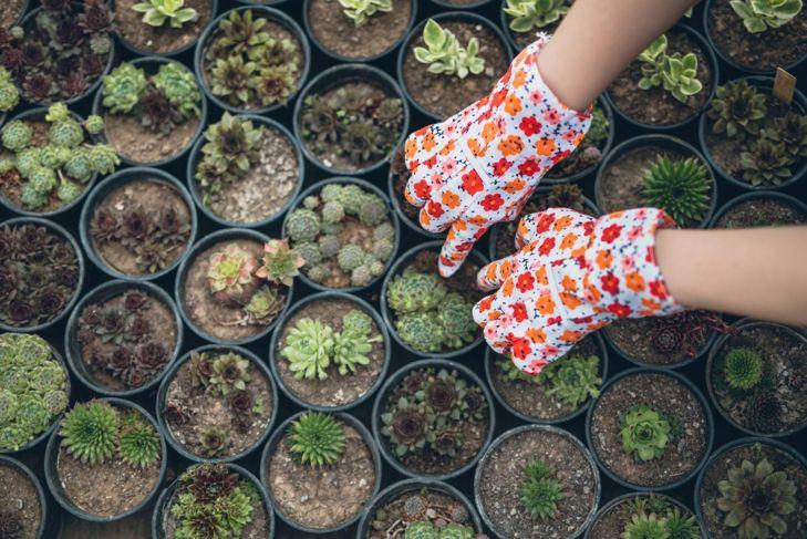 Gloved hands potting succulents.
