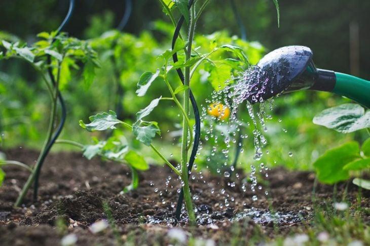 stagnating water stems leaves watering