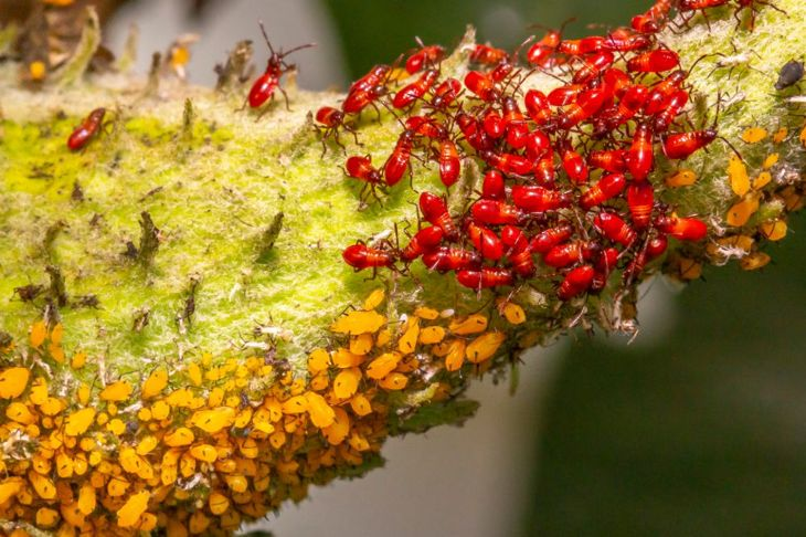 Aphids on a milkweed plant