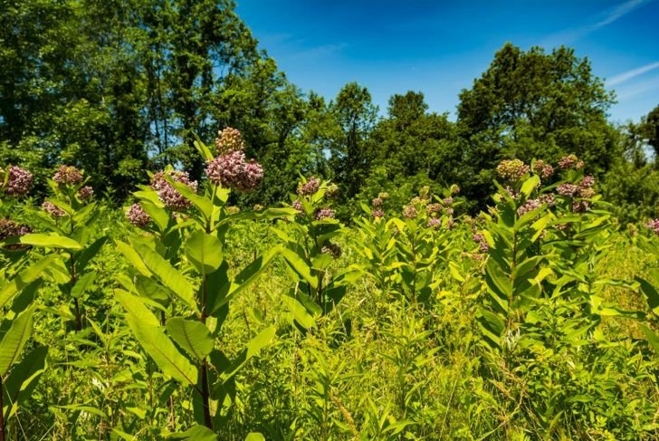 Common milkweed plants sway in afternoon sun