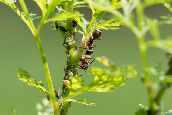 ants and aphids on cilantro
