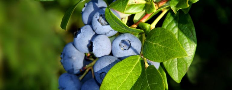 Bring Color to Your Garden by Growing Blueberries