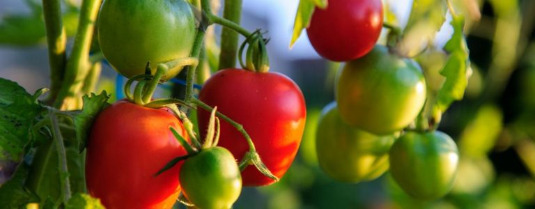 Top Tips for Growing the Perfect Tomatoes