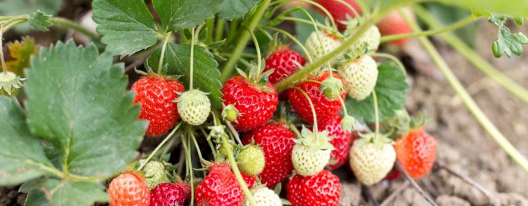 How To Grow Your Own Juicy Strawberries