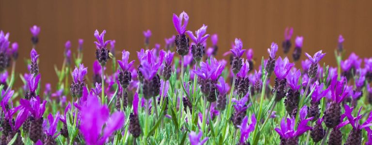 Tips for Growing Your Own Lavender Plants