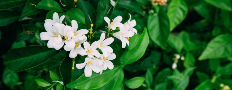 It's Easy to Grow Prolific, Aromatic Jasmine