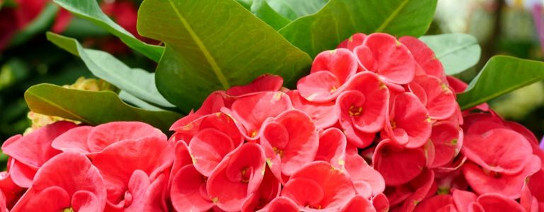 The Crown of Thorns: From Holy Land to Houseplant