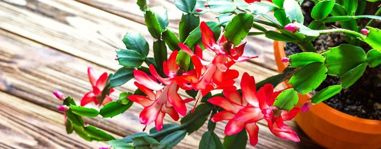 How to Care for the Colorful Christmas Cactus