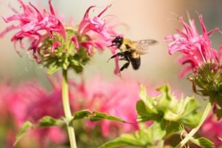 Bee Balm Adds Color and Flavor to Your Garden