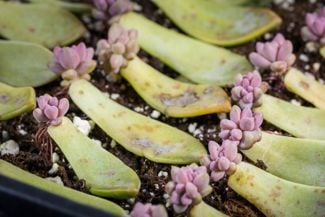 Easy Methods for Propagating Succulents