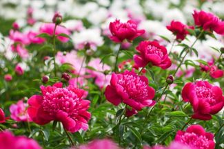 Brighten Your Garden With the Peony Plant
