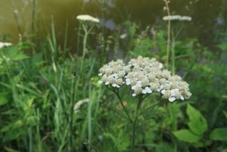 Growing the Beautiful, Multipurpose Yarrow Plant
