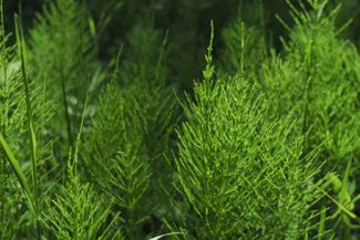 Growing the Hardy, Carefree Horsetail
