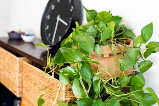 Indoor Vine Plants That Anyone Can Grow