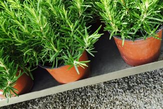 How To Grow Your Own Rosemary Plant