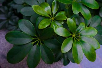 The Ever-Popular Umbrella Plant is Easy to Grow