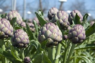 Growing Your Own Alluring Artichoke Plant
