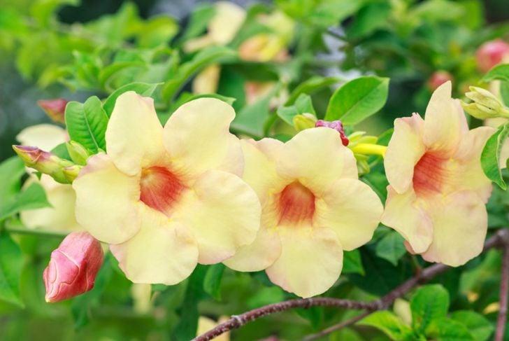 fragrant varieties flower colors blooms